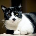 Bubba the Cat | Atlantic Veterinary Hospital, Seattle
