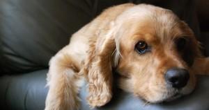 dog-sad-824025_24870527-300x159