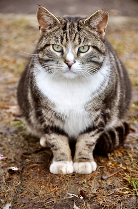 Preventing Urinary Blockage in Cats | AtlanticVetSeattle.com