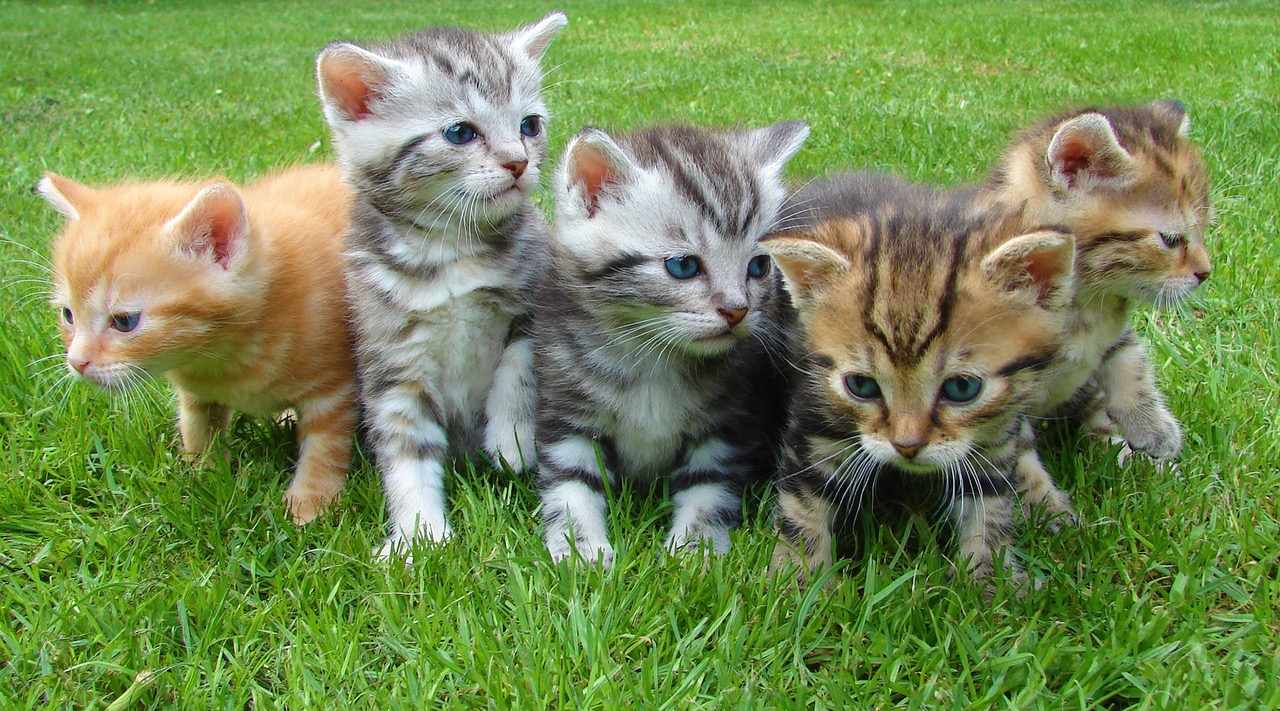 Tips for adopting a cat | atlanticvetseattle.com