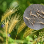 Foxtail: Little Seeds that Cause BIG Problems | AtlanticVetSeattle.com