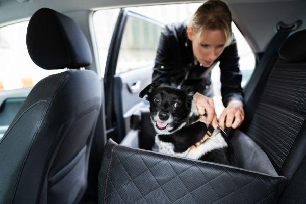woman tethering dog into backseat of vehicle