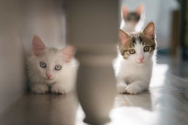 5 Steps to Introducing a New Kitten to Your Resident Cat | AtlanticVetSeattle.com