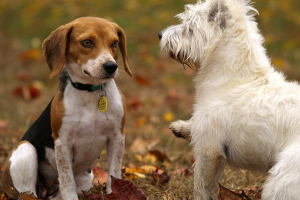 6 Steps to Introduce a New Dog to Your Current Dog | atlanticvetseattle.com
